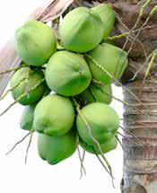 Palma orzacha kokosowego